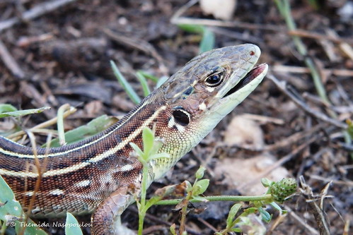 Balkan green lizard on Mount Olympus -Τρανόσαυρα