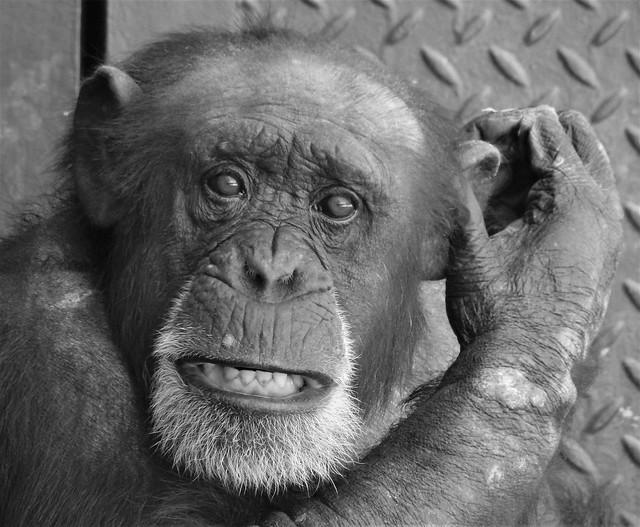 Chester Zoo Chimpanzee - Black and White