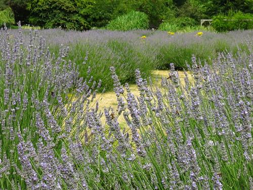 Vauxhall Park Lavender Garden | by Laura Nolte