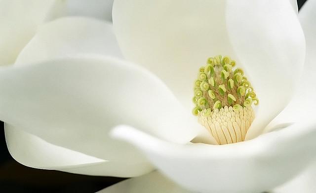 "Cincinnati – Spring Grove Cemetery & Arboretum ""Southern Magnolia - Flower"""