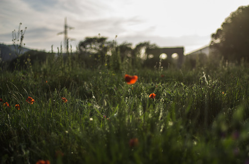 pentax k5 spring 2017 green red light countryside lazio italy colors meadow field perspective outdoor depthoffield plant smcpentaxm50mmf17 grass poppy bokeh evening wheat landscape aqueduct stefanorugolo