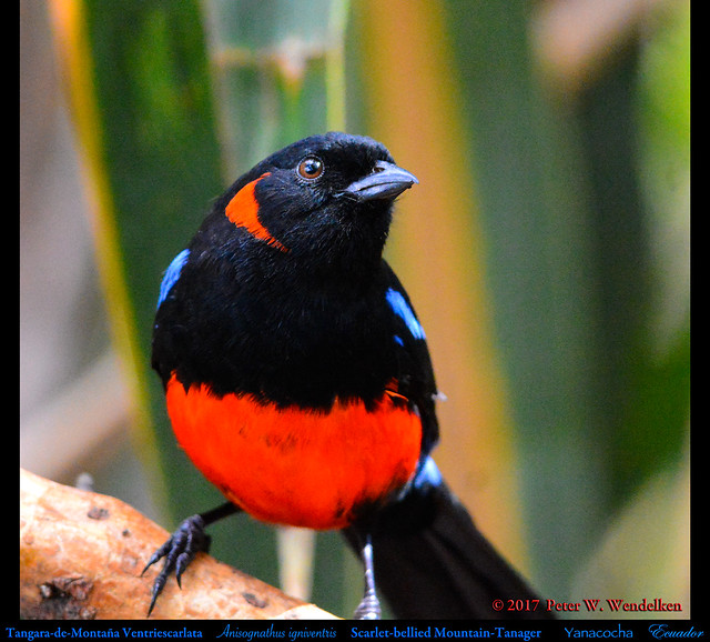 SCARLET-BELLIED MOUNTAIN-TANAGER Anisognathus igniventris at the Yanacocha Reserve in ECUADOR. Mountain-Tanager Photo by Peter Wendelken.
