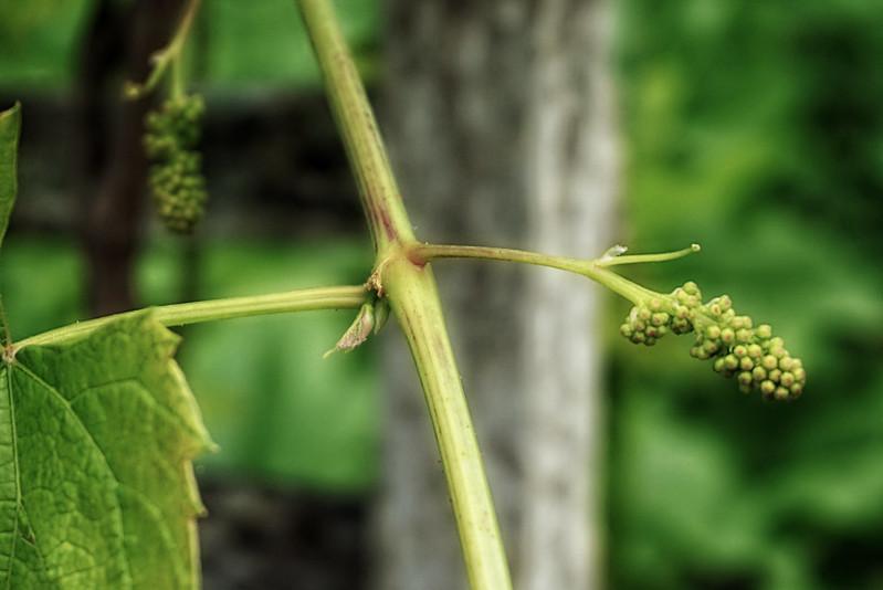 grape potential