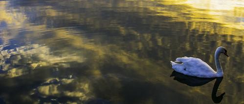 swan sunset water reflections nikond5200 chriswillis3