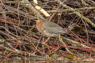 Green Heron (Butorides virescens) | by Mason Flint