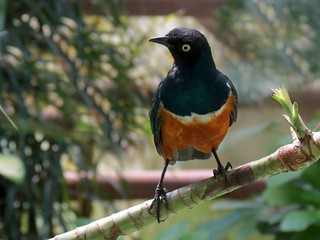 Superb starling - Lamprotornis superbus | by Linda DV