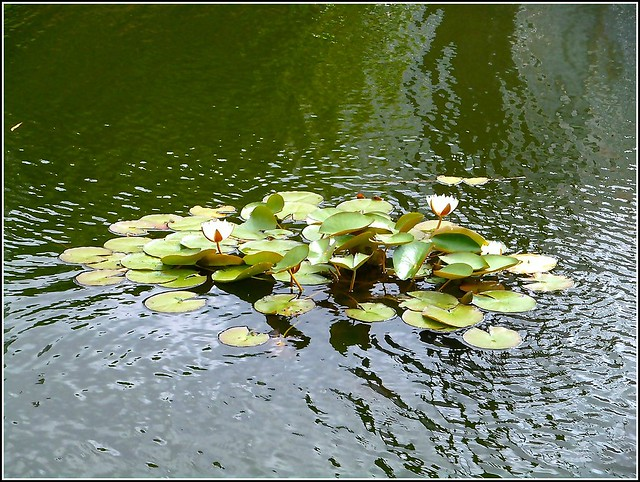 Water Lilies ...
