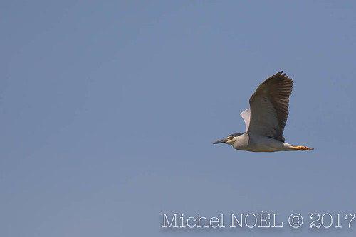 Bihoreau gris - Nycticorax nycticorax - Black-crowned Night Heron : Michel NOËL © 2017-7040.jpg