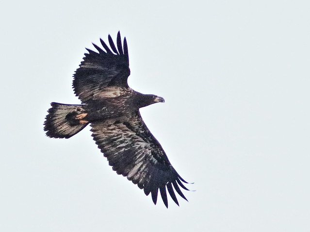 Bald Eagle juvenile 02-20170701