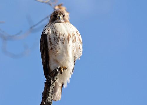 birds birdsofprey raptors hawks hawkredtailed redtailedhawk nikon nikond7100 tamronsp150600mmf563divc jdawildlife johnny portrait eyecontact
