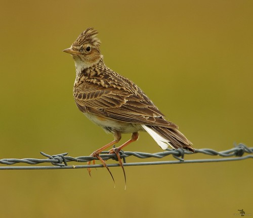 Skylark  (4) | by The Photography of Simon Dell