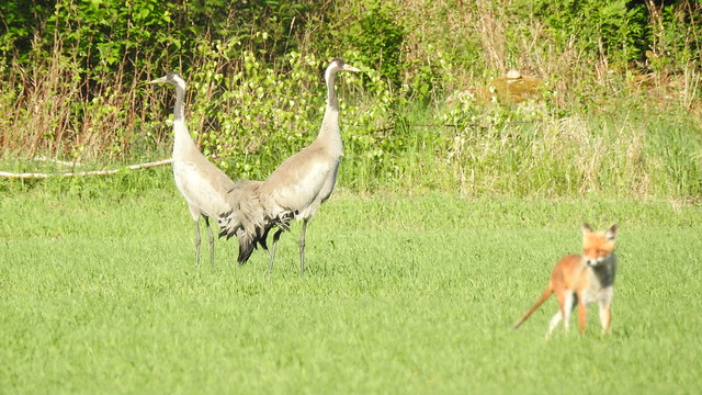 Common Cranes and Red Fox