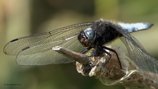 Scarce Chaser - front view