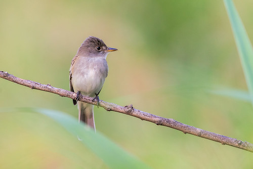 willowflycatcher wildlife nature bird perch empidonax empidonaxtraillii pennypackonthedelaware flycatcher color pastel philadelphia pennsylvania unitedstates us nikon d800e