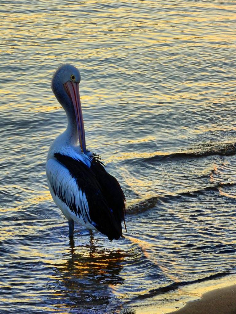 Pelican sunset II