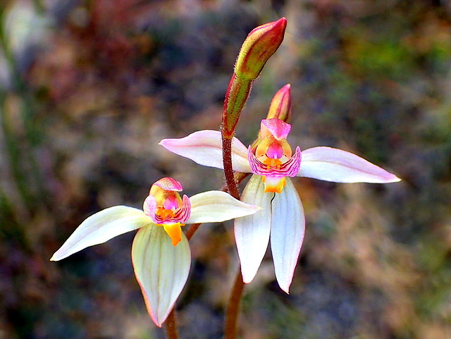 FAIRY ORCHIDS in the wild