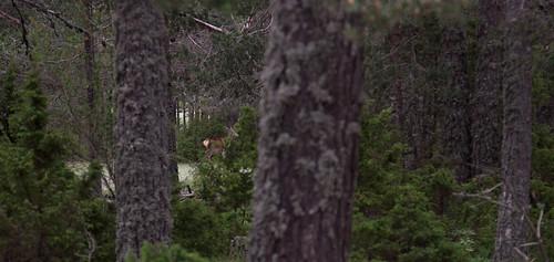 deer! | by Sitoo