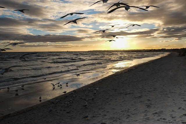 Birds at Aspendale beach