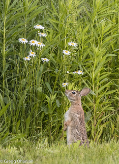Rabbit smelling the flowers