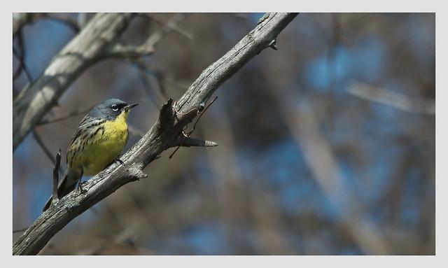 Kirtland Warbler (male)