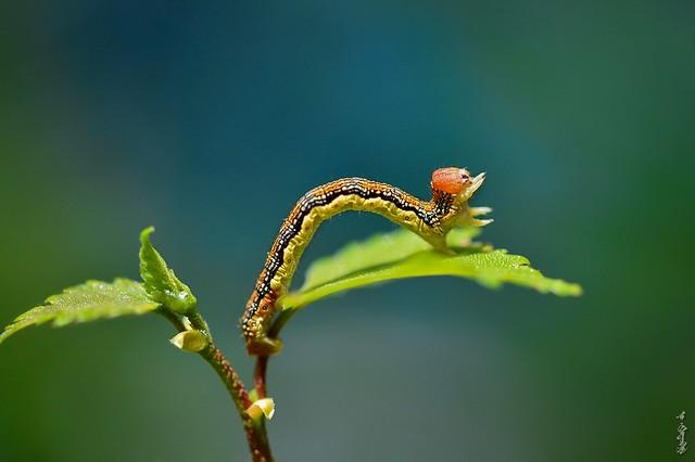 Spanworm ...