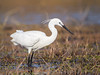 Little Egret by Gerhard Theron