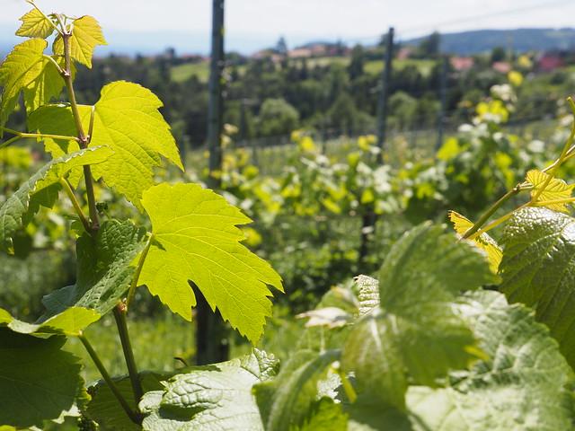 © Schilcherland Weinberg Steiermark Österreich Deutschlandsberg – Wine-Growing Wineyard South Styria Austria Europe