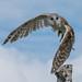 Barn Owl by Stephen Downes
