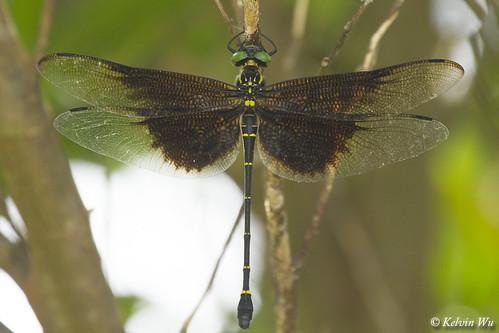 Chlorogomphus brunneus 褐裂唇蜓 ♀