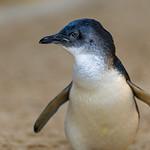 Profile of a Little Penguin