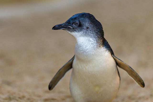Previous: Profile of a Little Penguin