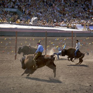 Bison riding at the Calgary Stampede