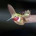 Hummingbird in flight - Male ruby throated Archilochus colubris by adambralston74