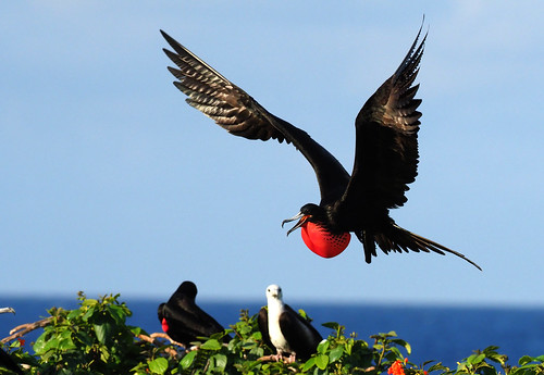 Magnificent Frigatebird | by Tom Ranney
