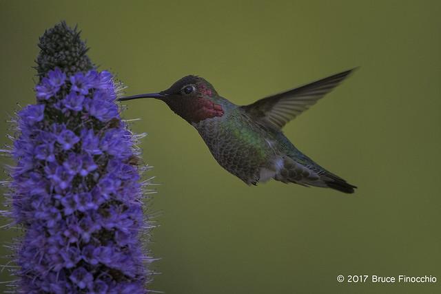 Male Anna's Hummingbird Feeds On A Pride Of Madera Blossom