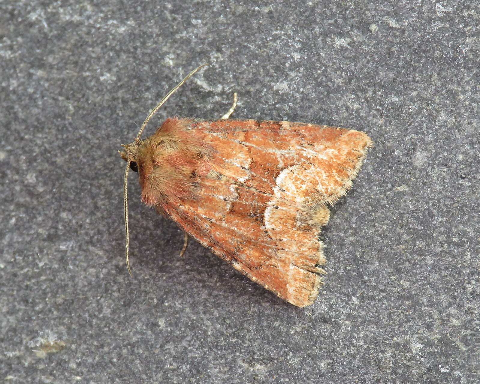 73.176 Middle-barred Minor - Oligia fasciuncula