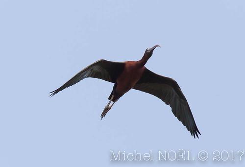 Ibis falcinelle Plegadis falcinellus - Glossy Ibis : Michel NOËL © 2017-7272.jpg