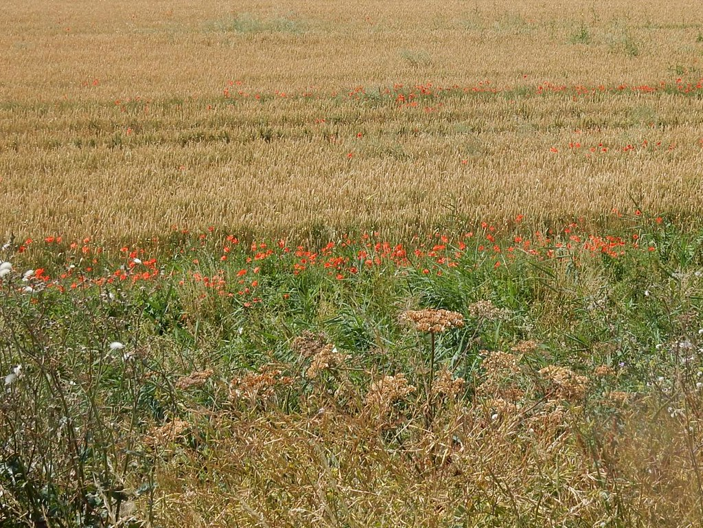 Hogweed, Poppies and Wheat