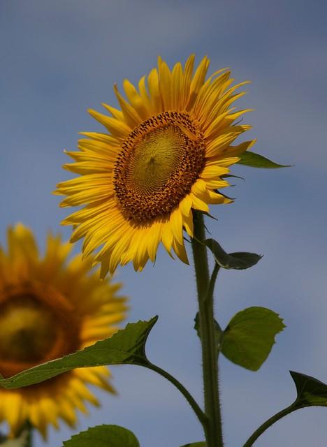 Sunflower Village