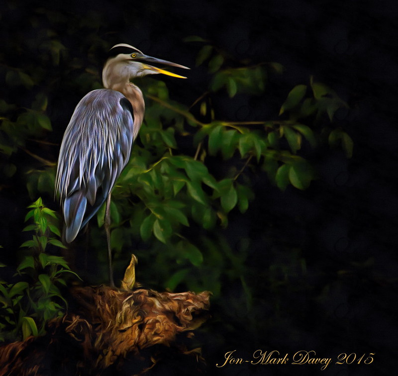 Great Blue Heron, the guardian of Hontoon island on the St. John's River