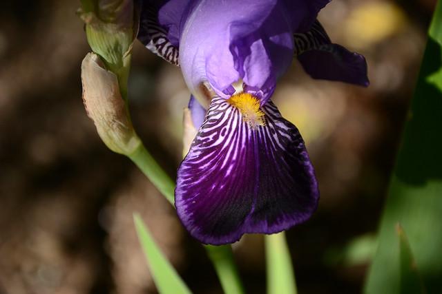Iris 'Monsignor' - Vilmorin 1907 32595070815_5397978cfa_z