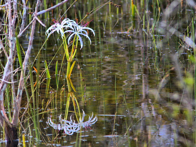 Swamp Lily 2-20170613