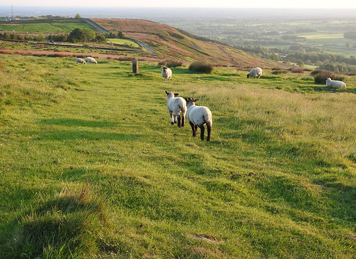 sheep lambs countryside ribblevalley lancashire forestofbowland landscape evening green trees fields meadows road jeffreyhill