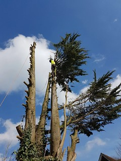 Removing large conifer on a construction site in Southampton. | by Knighton Countryside