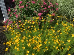 Coreopsis and some butterfly bush thing. #pretty #garden