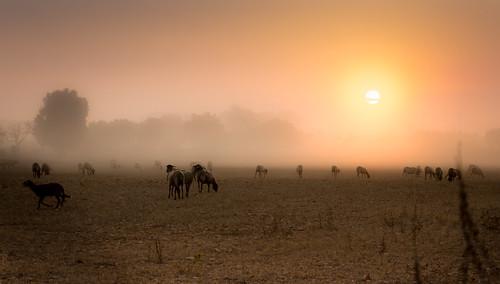 morning sunrise amanecer campo field ovejas sheep farm farmland granja dawn nature agricultura agriculture outdoors paisajes landscapes fog niebla españa mallorca countryside inspiracionbdf16