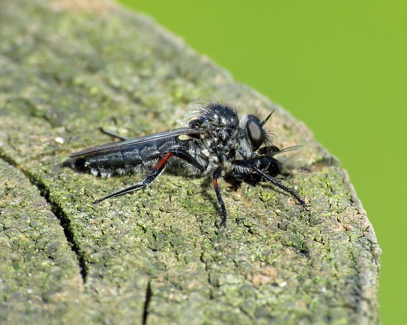 Slender-footed Robberfly - Leptarthrus brevirostris