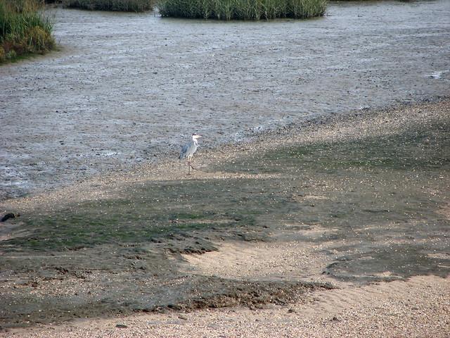 Heron at Yantlet Creek, Isle of Grain