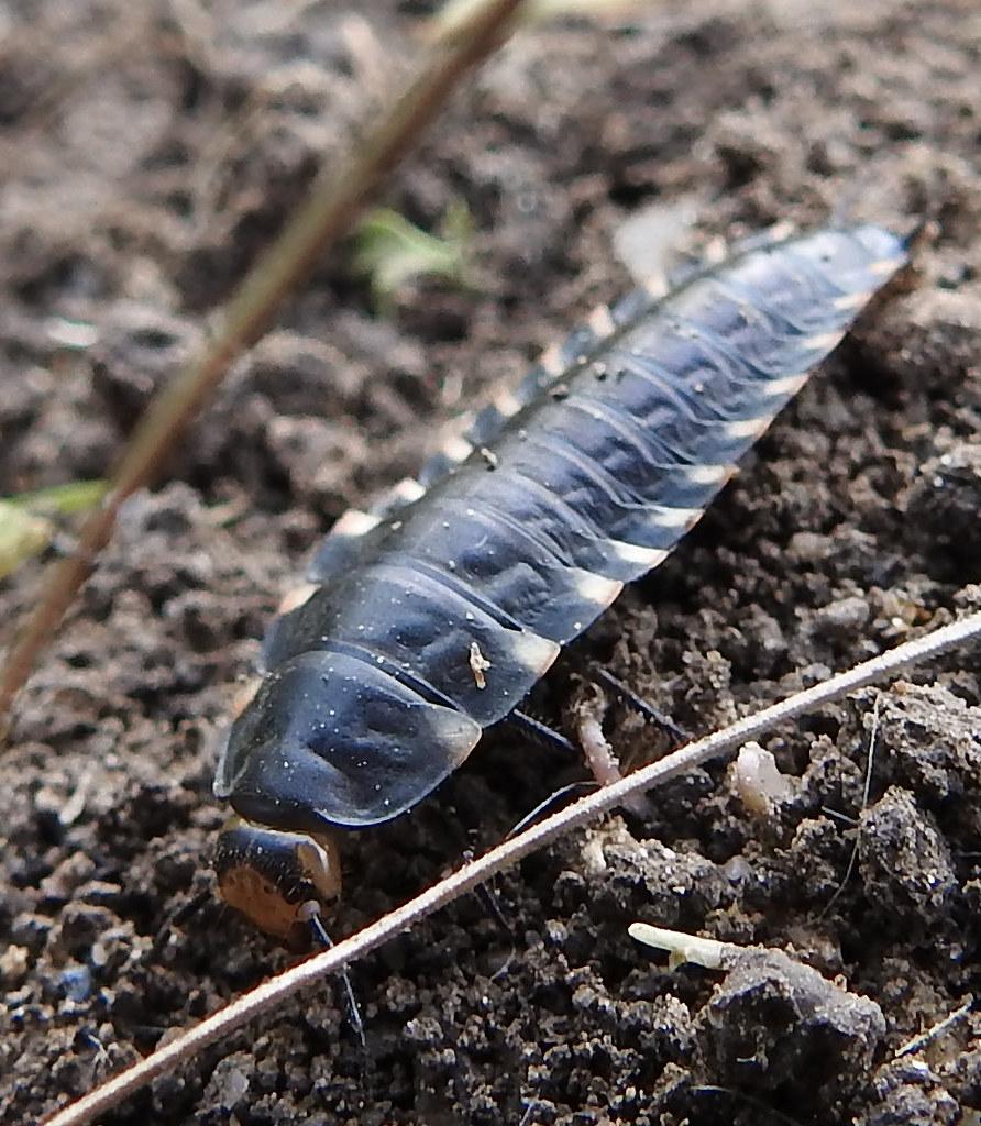 Red Breasted Carrion Beetle Larva Basingstoke Hampshire Flickr