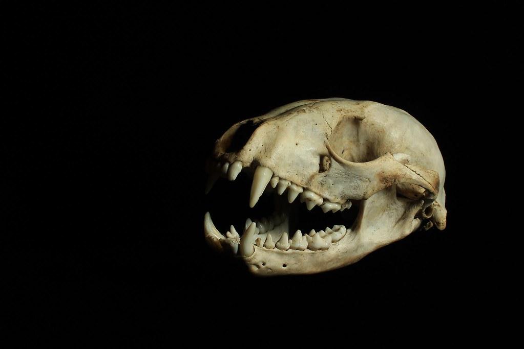 125 (2) Raccoon Skull [Explored] | My son's Raccoon (Procyon